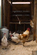 Chicken Coop With A Rooster An...