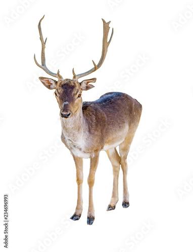 Poster Hert Reindeer Isolated on White