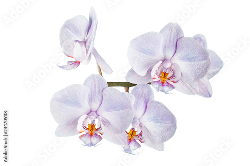 beautiful orchid flowers in isolation on a white background