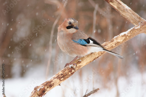 Canvastavla Eurasian jay sits half-turn on crossed dry oak branches in a forest park (it is snowing)