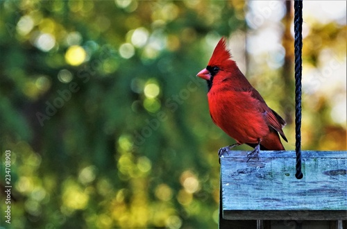 Fotografie, Obraz A single male cardinal bird perching on the roof of wooden feeder enjoy watching and relaxing on the soft focus garden background, Autumn  in Georgia USA