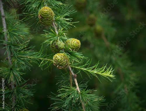 Fotografie, Obraz  Twig of Larch tree