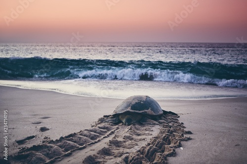Poster Schildpad Green turtle heading back to ocean