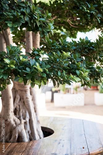 Bonsai green tree at the Denia Spain