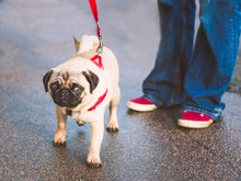 Cute Young Pug On A Red Leash Or Lead Next To His Owner Wearing Jeans And Red Shoes With A White Trim Outside On A Slightly Wet Road. The Dog Has A Slightly Surprised Expression