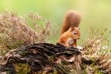 Red Squirrel (Sciurus Vulgaris), Scotland
