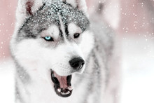 Gray Dog Husky Saying Something With Mouth Open Outdoors. Snow Falling Laying On Fir