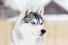 Gray Husky Dog Standing In Bli...