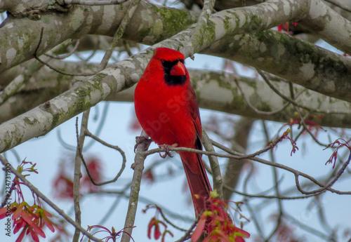 Obraz red bird on a branch - fototapety do salonu