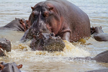 Hippo Couple Making Love In A Hippopool In The Serengeti National Park In Tanzania