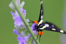 Eight-Spotted Forester Moth On...