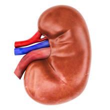 Human Kidney, 3D Rendering