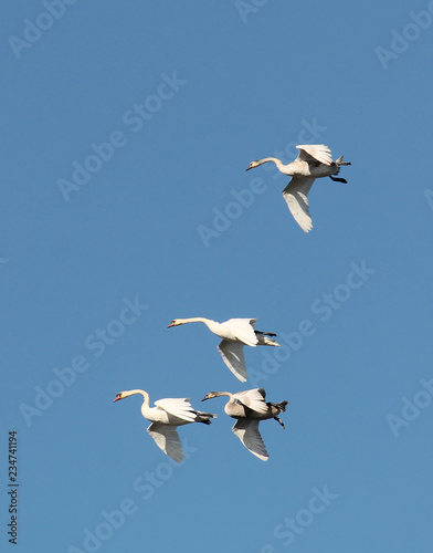Flying four Mute swans or Cygnus olor against blue sky