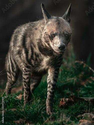 Striped hyena Fototapet