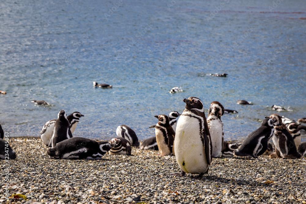 Manchots de Patagonie en Argentine voyage Ushuaïa