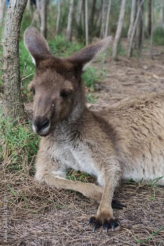 Foto op Plexiglas Kangoeroe Liegendes Känguru in Australien