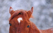 Snow On The Chestnut Horse In ...