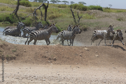Zebra running quickly through water in Serengeti, Tanzania