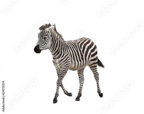 Carta da parati Zebra foal on white background isolated