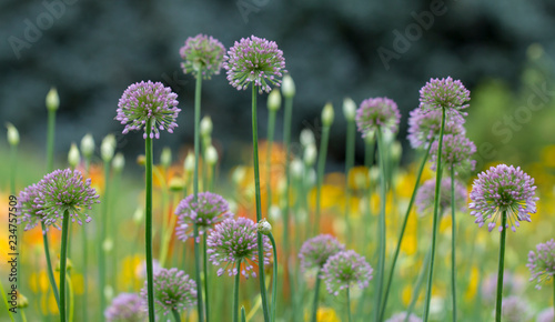 Decorative onion flowers in white and pink color, allium Canvas Print