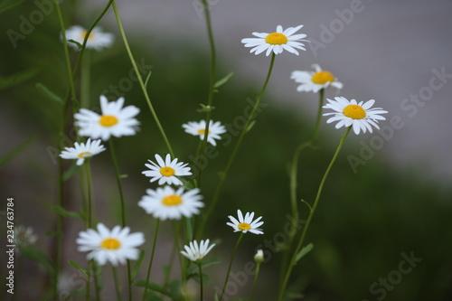 In de dag Madeliefjes field of daisies
