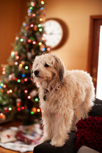 Shaggy White Dog In Front Of A Christmas Tree