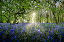 Sunrise Over Bluebell Flowers In A Woodland Glade