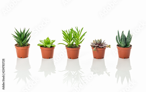 Fotografía Row of little succulent plants with reflections