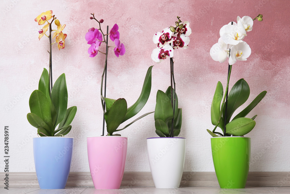 Fototapety, obrazy: Beautiful tropical orchid flowers in pots on floor near color wall