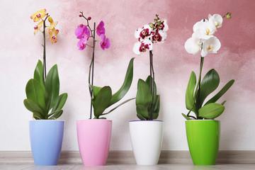 Fototapeta na wymiar Beautiful tropical orchid flowers in pots on floor near color wall