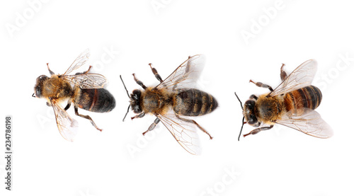 Beautiful honeybees on white background, top view. Domesticated insects