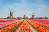 Fototapeta Tulipany - Landscape of Netherlands bouquet of tulips and windmills in the Netherlands.