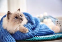 Cute Cat Wrapped In Knitted Sweater Lying On Floor At Home. Warm And Cozy Winter