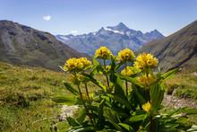 Alpine Wild Flower Genziana Pu...