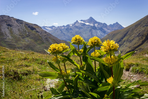 Fototapeta Alpine wild flower Genziana punctata (Spotted Gentian) with Grivola group as background