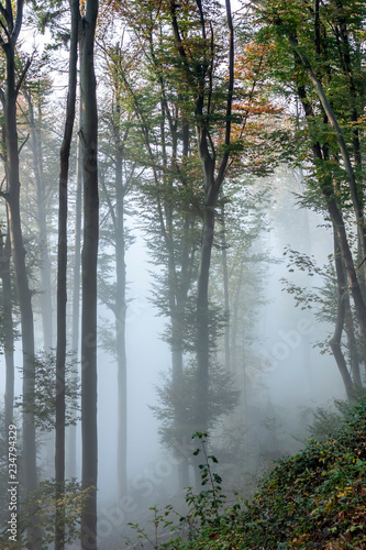 Fotografering  mysterious foggy autumn forest with weak sunlight