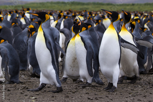 The king penguin (Aptenodytes patagonicus) is a large species of penguin - Antarctic Canvas Print