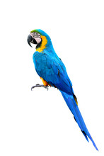 Blue And Gold Macaw Parrot Bird With Details Feathers Of Head Wing Tail Head And Feet Isolated On White Background, Exotic Animal