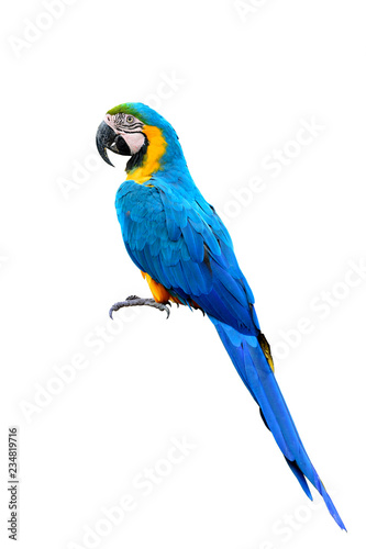 Blue and gold macaw parrot bird with details feathers of head wing tail head and feet isolated on white background, exotic animal Fotomurales