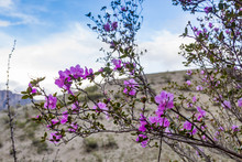 Blooming Wild Rosemary Against The Sky And Hillside, Altai, Russia
