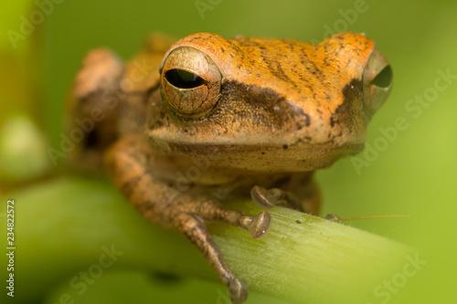 Tuinposter Kikker Beautiful Frog at Borneo, Frog