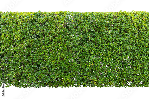 Poster Jardin Green hedge or Green Leaves Wall isolated,Objects with Clipping Paths