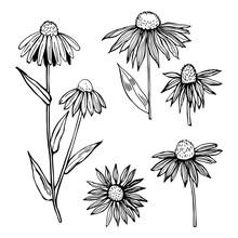 Hand Drawn Echinacea. Medicina...