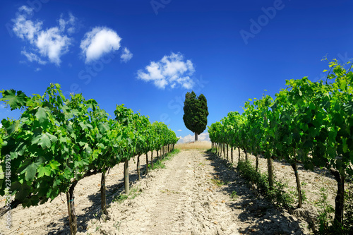 Italian view, rows of green vines