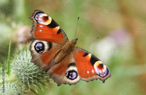Tuinposter Pauw A Peacock Butterfly (Aglais io ) perched and feeding on a thistle flower.