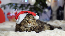 Funny Laizy Maine Coon Cat As Santa Claus Wears Christmas Cap Sits By Beautiful New Year Decorated Fir-tree.