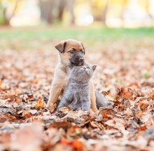 Mixed Breed Puppy Hugging A Sad Kitten On Autumn Leaves