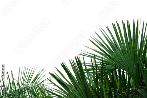 Pinturas sobre lienzo  Coconut leaves on white isolated background for green foliage backdrop