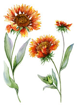 Beautiful Orange Coreopsis Flower On A Stem With Green Leaves. Set Of Two Flowers Isolated On White Background. Watercolor Painting.