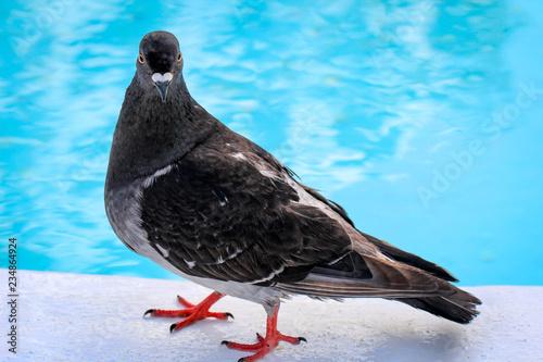Portrait einer Taube